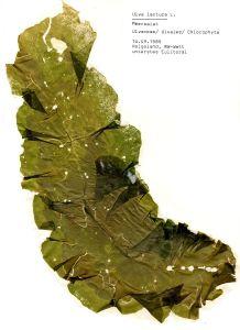 An herbarium sheet